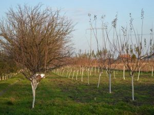 vocnjak u jesen okrecena stabla