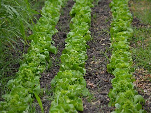 salata u redovima plastenik