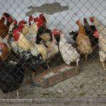 Veterina: Proglašeno ugroženo područje i zone nadzora ptičijeg gripa