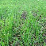 Pšenice na poljima u različitim fazama razvoja