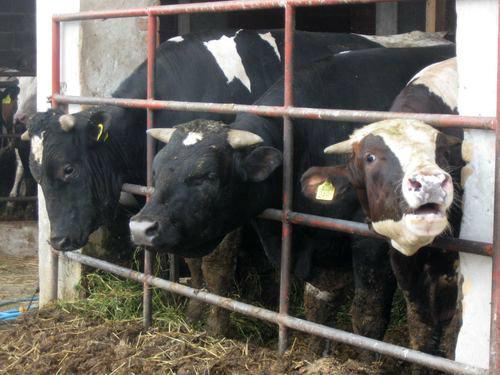 Izmenjen Javni poziv za naturalnu razmenu kukuruza za tovnu junad
