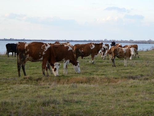 krave na pašnjaku