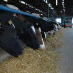 Zimski uslovi držanja goveda