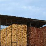 Blagi rast cene kukuruza, a tržište pšenice i soje i dalje pasivno