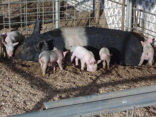 male-svinje-prasad-domace-svinje