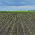 Međuredna kultivacija važna mera nege prolećnih useva