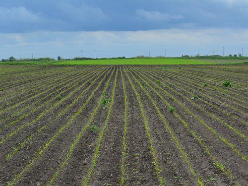 redovi mladog kukuruza