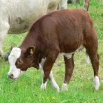 Podsticaji u stočarstvu za krave za uzgoj teladi za tov