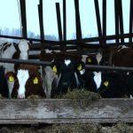 Nedimović: Šansa za izvoz junetine i povećana davanja za krave i tovnu junad