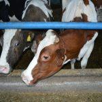 Agrobiznis forum – Zaštiti domaće mlečno govedarstvo