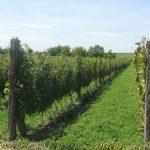 Vinogradarski registar – upis je zakonska obaveza