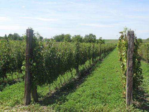 Registrovani simptomi zlatastog žutila vinove loze – Uklonimo zaražene čokote