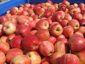 jabuke plodovi