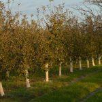 Krečenje voćnih stabala