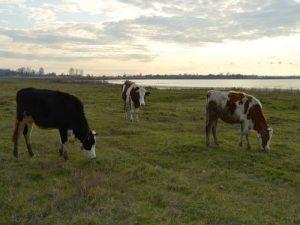 tri krave na pasi