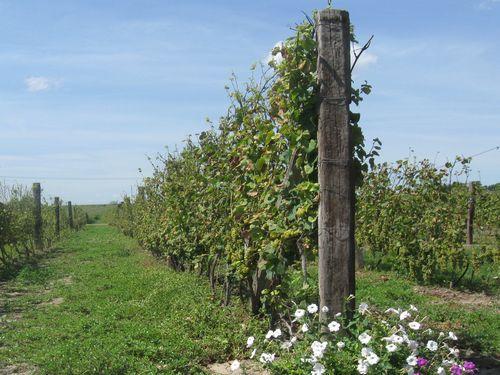 Zaštitimo vinograd od cikade i sprečimo zlatasto žutilo vinove loze