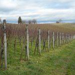 Šta je lačenje i zašto je važno uraditi ovu meru u vinogradima