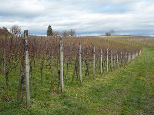 vinograd rano prolece