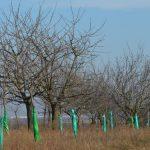 Zaštita voćnih stabala od divljači repelentima ili omotavanjem
