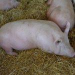 Robne rezerve razmenjuju kukuruz za tovne svinje i junad