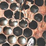 Američka kuga pčelinjeg legla
