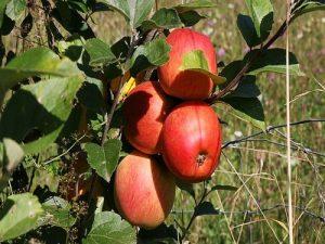 jabuke na grani