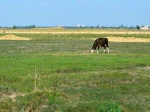 krava na pasnjaku