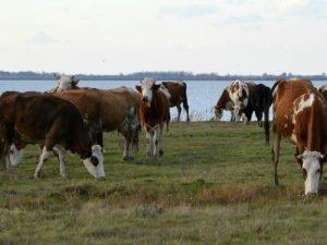 krave na ispasi 2