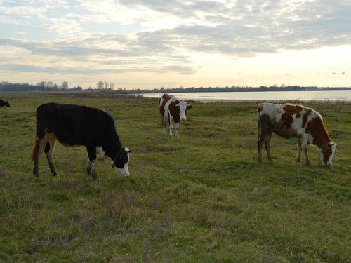 krave na pasi
