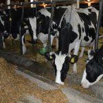 Uticaj visokih temperatura na proizvodnju mleka i kako smanjiti gubitke