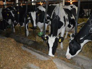 krave u stali jedu