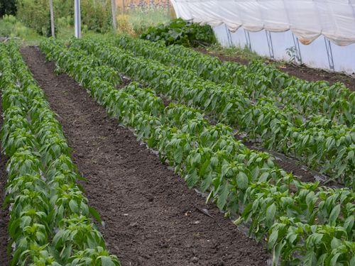 Prihrana paprike i paradajza – Organizacija korak po korak