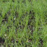 Prihrana pšenice – Kako organizovati tri prihrane useva