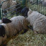 Osteomalacija, slabost kostiju ovaca