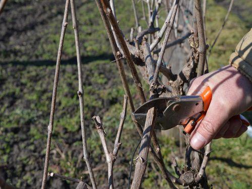 rezanje vinove loze