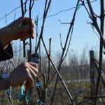 Kako se utvrđuje koeficijent rodnosti vinove loze