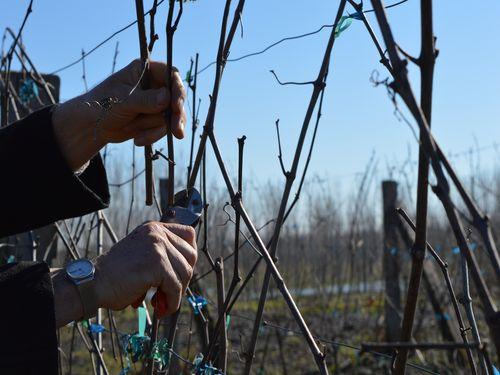 Rezidba vinove loze – Šta je važno?