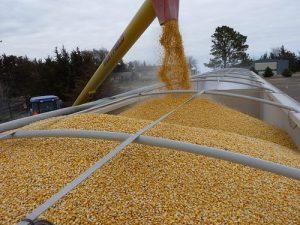 utovar kukuruza