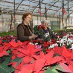Cvećarstvo – U staklenicima Sonje Kamraš šarenilo boja