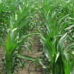 Virus mozaične kržljavosti kukuruza