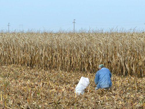 paor cuci u kukuruzistu