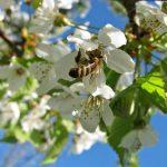 Evropa odlučila da spase pčele