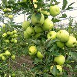 Đubrenje jabuke i breskve nakon analize plodnosti zemljišta