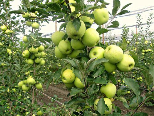Najzastupljenija organska proizvodnja voća, žitarica, ovaca i živine