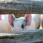 Obaveštenje Uprave za veterinu u vezi kupovine tovljenika
