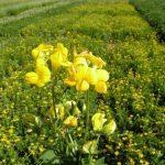 Žuti zvezdan važna krmna biljka
