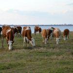 Uslovi i način ostvarivanja prava na podsticaje za krave za uzgoj teladi za tov