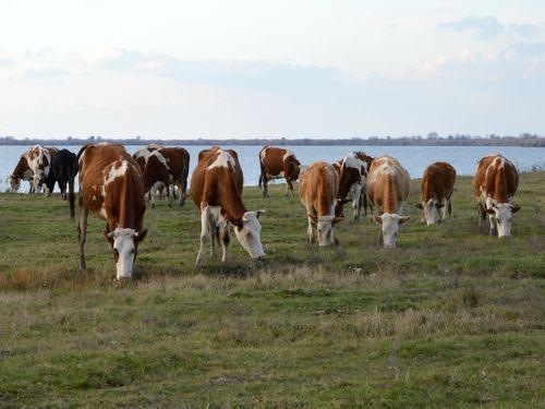 krave pasu