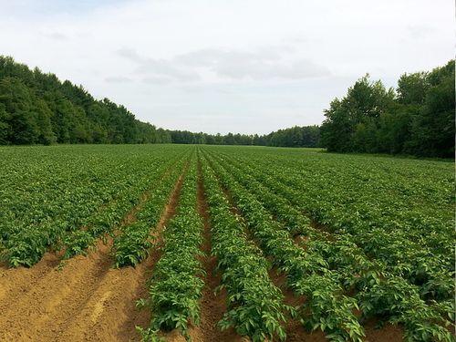 krompir biljke u polju