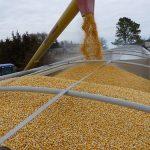Kukuruz beleži pozitivan cenovni trend
